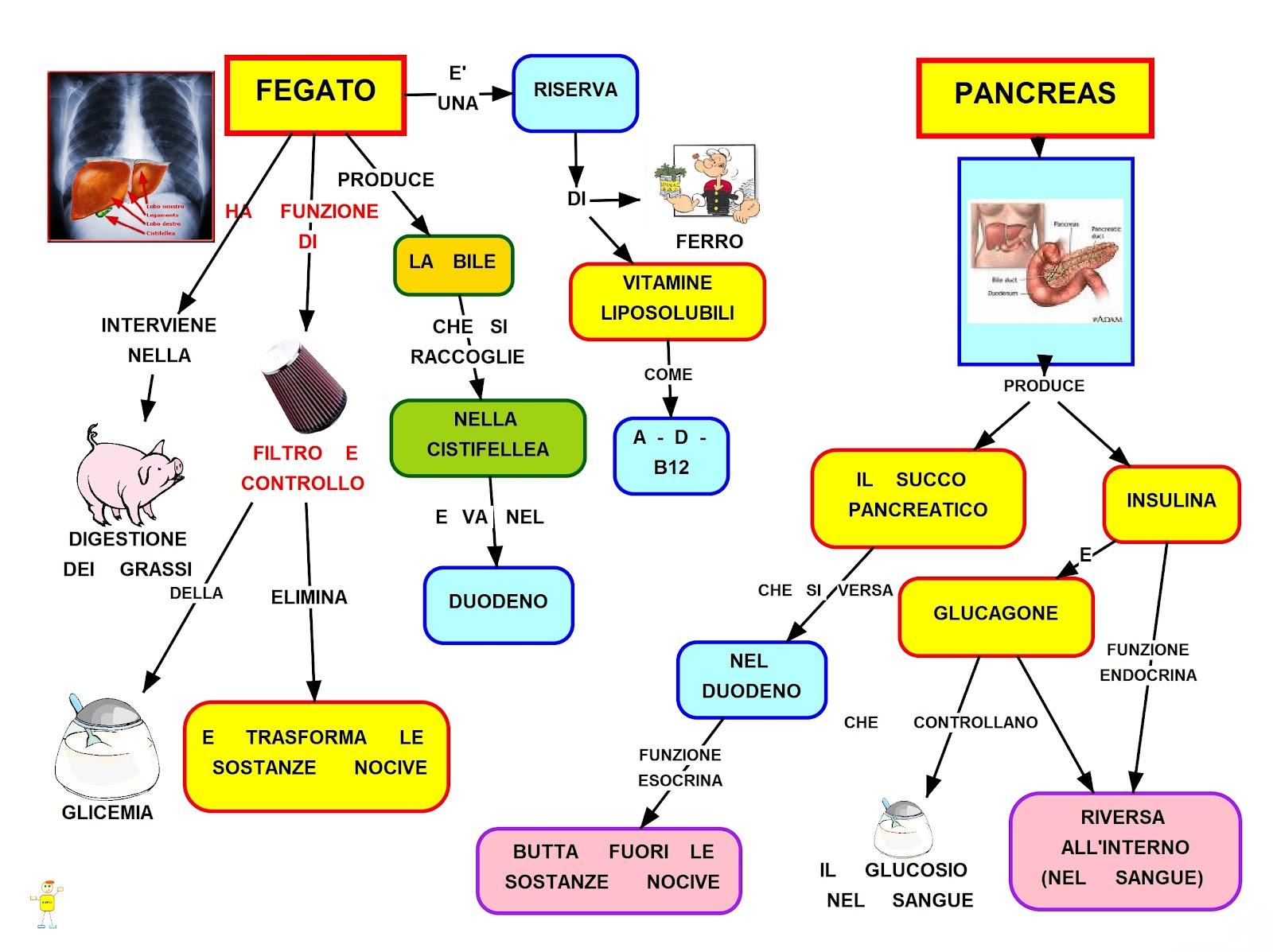 Fegato e Pancreas: schema riassuntivo delle funzioni